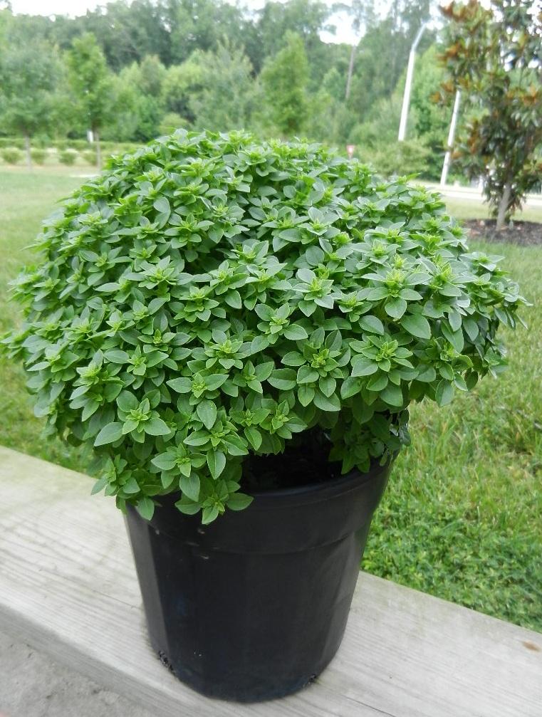 Basil   Sweet Tomato Test Garden - 332.9KB