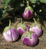 Eggplant, Rosa Bianca heirloom purple stripe