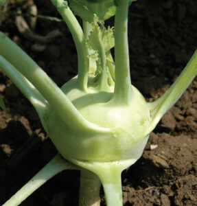 Kohlrabi F1, Winner, Johnnyseeds