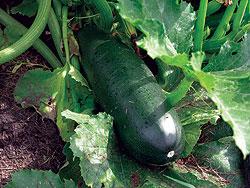 Squash, zucchini Dark Green